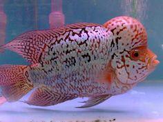 nice Aquarium Fish & Others: Flower Horn Tropical Freshwater Fish, Freshwater Aquarium Fish, Aquarium Fish Tank, Tropical Aquarium, Tropical Fish, Pez Flower, Cichlid Fish, Parrot Fish, Betta Fish Types