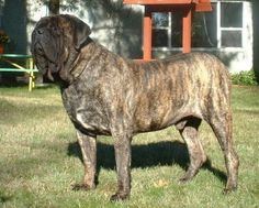 Inspiration for Miller who is Hale's rescue dog. Boys-Old English Mastiff Dogs Top Pedigree Puppies Brindle English Mastiff, Old English Mastiffs, English Bull, Mastiff Puppies For Sale, Mastiff Dogs, Gentle Giant, Rescue Dogs, Best Dogs, Animal Pictures