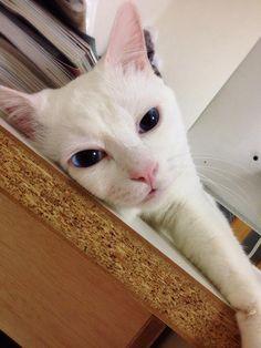 絶世の美猫がとんでもない寝顔に…白猫「セツ」のギャップがすさまじい