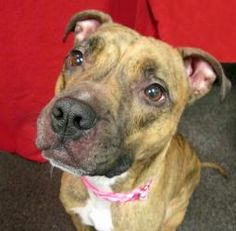 Maizie is an adoptable Boxer Dog in Seattle, WA. This dog is in a foster home, and is currently not at the shelter. Please find instructions on how to adopt her by clicking on 'Read More About This Pe...