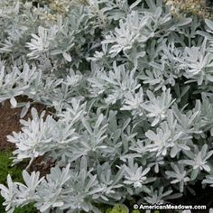 Silver Brocade boasts fabulous texture and vigorous growth, making it a popular foliage plant to offset your favorite flowering plants. (Artemisia stelleriana)