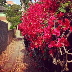 andwick laneway #randwick #laneway #flowers #red #spring @Costa Arvanitopoulos