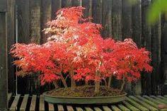 Znalezione obrazy dla zapytania gatunki bonsai