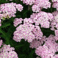 Achillea 'Wonderful Wampee'. The Tutti Frutti™ Series of Yarrows were recently bred in the Netherlands. Plants are compact and bushy, with very uniform blooming over a long season. This selection has clusters of flowers that begin rich pink, aging to a bicolor soft pink and blush. Excellent for cutting. One of the best Yarrows for growing in containers. Deadheading faded blooms should encourage more buds to form over a long season.