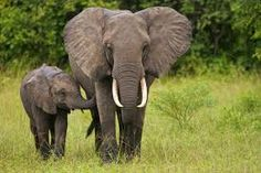 Elephants are large mammals of the family Elephantidae and the order Proboscidea. Three species are recognised, the African bush elephant (Loxodonta africana), the African forest elephant (L. cyclotis) the Asian elephant (Elephas maximus).