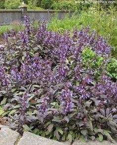 Salvia officinalis 'Purpurea' - purple sage