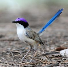 Purple Crowned Fairy-wren (i'd pin this bird even if it was just for it's name !)