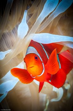 1x.com is the world's biggest curated photo gallery online. Each photo is selected by professional curators. Clownfish defends his white anemone by Jan Abadschieff