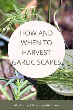 Garlic scapes - how and when to harvest them. | Hillsborough Homesteading