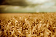 Photography  Autumn wheat harvest  a windmill  by sparksoffire, $40.00