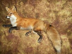Gorgeous Red Fox Mantle Mount Taxidermy Texas Hunt Bobcat Deer Traps Log Cabin
