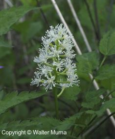 90 best weeds poisonous invasive bad reps images on pinterest in white baneberry actaea pachypoda the berries are poisonous as few as 5 mightylinksfo