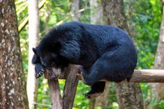 http://www.vietnamitasenmadrid.com/laos/cataratas-kuang-si.html  Tat Kuang Si centro de rescate de osos