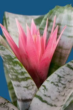 Indoor Gardening ADD COLOR THIS WINTER! Fresh From Florida indoor plants are now available at local retailers and nurseries. Get yours today. Tropical Garden, Tropical Plants, Tropical Flowers, Air Plants, Garden Plants, Indoor Plants, Indoor Gardening, Garden Deco, Love Garden