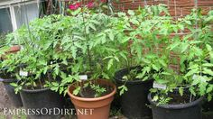 Growing tomatoes from seed to table | tomatoes in containers