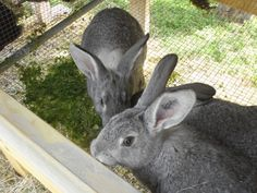 http://thedancingfarmer.com/2012/02/03/feeding-rabbits-grass-and-other-free-foods/  I want to raise some rabbits