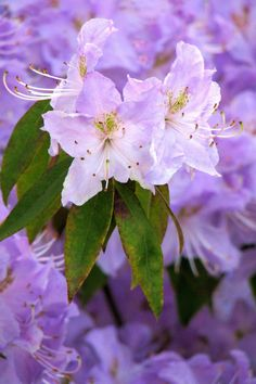 Purple Azaleas, planted in my garden.