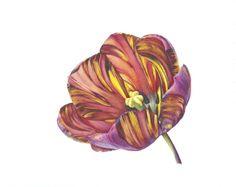 <span class=%22title%22>Open Absalon (Tulipa 'Absalon')</span>