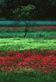 ✯ Poppy Field - Italy