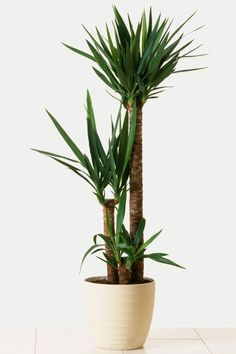 Indoor Trees That Make a Statement Spineless Yucca Tree Yucca Plant Indoor, Yucca Plant Care, Indoor Tree Plants, Best Indoor Trees, Outdoor Plants, Trees To Plant, House Plants Decor, Plant Decor, Yucca Tree