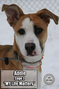 ADOPTED! YEAH! :) Meet+02+Addie/ADOPTED,+a+Petfinder+adoptable+Shepherd+Dog+|+Canton,+OH+|+Release+date+2/21.+Addie,+bless+her+heart,+finally+came+out+of+her+pen,+with+the+help+of+a+staff...