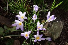 light mauve crocus