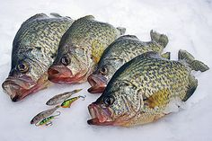 Knowing when and where to search for crappie under the ice will improve your success rate dramatically. Here are some great ice fishing tips for crappie. Ice Fishing Tips, Saltwater Fishing Gear, Crappie Fishing Tips, Fishing Bait, Carp Fishing, Best Fishing, Fishing Stuff, Fishing Tricks, Fishing Knots