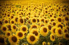 Zonnebloemen van Patrick Dielesen