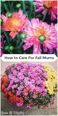 How to care for fall mums. Got questions?... If I plant it will it come back? How long will they bloom?  It's all here in this post....