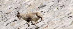 BBC - Earth - Watch daredevil goats defying gravity