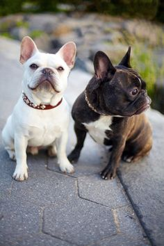 I need a cream French Bulldog in my life. I wouldn't mind a black/brindle one though. Cute Puppies, Cute Dogs, Dogs And Puppies, Doggies, Chihuahua Dogs, Bulldog Puppies, Baby Animals, Funny Animals, Cute Animals