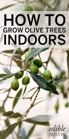 how to keep your own olive tree!Learn how to keep your own olive tree! Indoor Olive Tree, Potted Olive Tree, Potted Trees, Dwarf Olive Tree, Indoor Trees, Indoor Outdoor, Small Palm Trees, Small Palms, How To Grow Olives