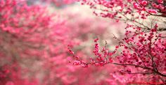 Cherry Blossom Hd Image   Inspiration Wallpapers