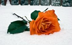 Preview wallpaper rose, flower, snow, winter, leaves