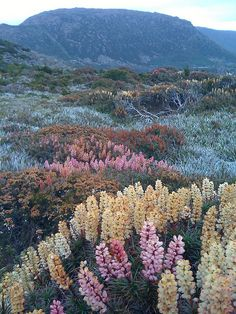 Richea scoparia, Mount Field National Park, Ireland-Nature takes best in show! My kind of garden. Parc National, National Parks, Beautiful World, Beautiful Places, Beautiful Scenery, Amazing Places, Beautiful Pictures, Nature Aesthetic, To Infinity And Beyond
