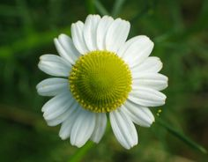 Heřmánek (Matricaria) Edible Garden, Botany, Herbs, Organic, Plants, Spices, Flower, Roses, Spice