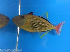 Crosshatch Triggerfish Male Hawaiian Live Saltwater Aquarium Fish Hawaii Trigger