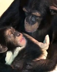 Baby Animal Videos, Baby Animals Pictures, Funny Animal Videos, Cute Little Animals, Cute Funny Animals, Cute Dogs, Animal Jokes, Funny Animal Memes, Baby Chimpanzee