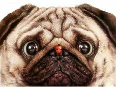 * pug face