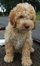 Lagotto Romagnolo Puppy breeders, Australia.