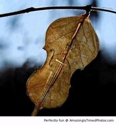 This leaf don't fiddle around!