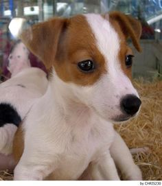 Jack Russell Terrier - A Dog in One Pack - Champion Dogs Perros Jack Russell, Jack Russell Puppies, Jack Russell Terrier, I Love Dogs, Cute Dogs, Cute Puppies, Canis Lupus, Bull Terrier Dog, Rat Terriers