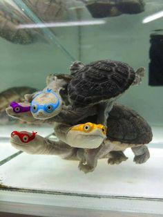 Teenage Mutant Ninja Turtles So funny! Kinds Of Turtles, Cute Turtles, Baby Turtles, Mini Turtles, Cute Baby Animals, Animals And Pets, Funny Animals, Red Eared Slider, Tortoise Turtle