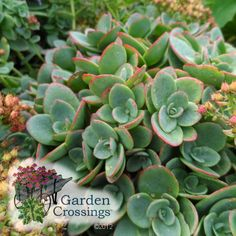 I love the foliage of Lime Zinger Sedum. This is a great ground cover that lights up the day in mid to late summer.