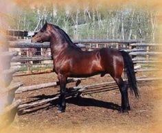 Looking at the old style foundation bred horses with good working lines [no modern show-type studs, please]. Description from horseforum.com. I searched for this on bing.com/images