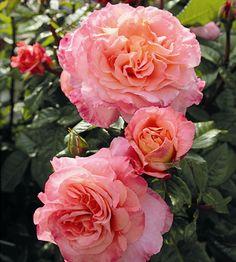 Duftrose Rosen Tantau Rosa x Hybride 'Augusta Luise' wurzelverpackt Pretty Roses, Beautiful Roses, White Roses, Pink Roses, Yellow Roses, David Austin Rosen, Rosen Beet, English Garden Design, Hybrid Tea Roses