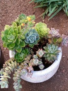 Succulents.  Summer 2015 by Anna Schambers