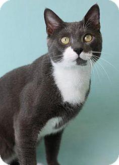 Blackwood, NJ - Domestic Shorthair. Meet Jimmy John (Cherry Hill Petsmart), a cat for adoption. http://www.adoptapet.com/pet/16859427-blackwood-new-jersey-cat