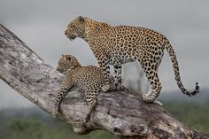 "Alex Jordan on Instagram: ""Mother and cub scanning the surrounding bush from a vantage point on a cool, overcast and rain filled morning..""  #leopard #Africa"