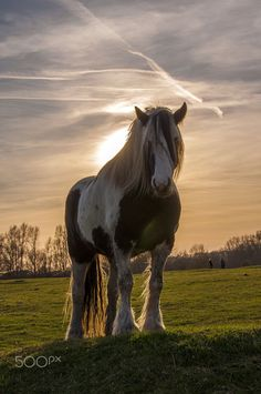 Horse photography - Sunset horse, Gypsy Vanner, Cobb. Black and white markings. Beautiful picture with the sun shining on the horse from behind, you can feel it!. Please also visit www.JustForYouPropheticArt.com for colorful inspirational art. Thank you so much! Blessings!